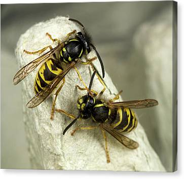 Black And Yellow Canvas Print - Common Wasps by Nigel Downer