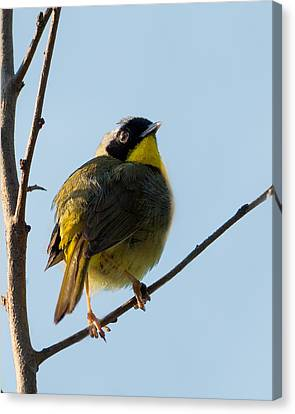 Common Yellowthroat Warbler Canvas Print by Bill Wakeley