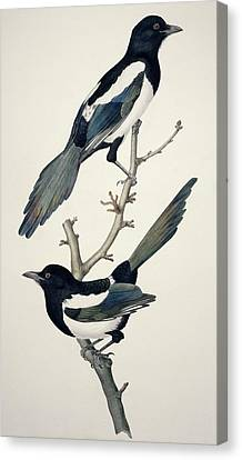Comon Magpies,19th Century Artwork Canvas Print by Science Photo Library