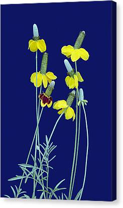 Complementary Colors  Canvas Print by Bijan Pirnia