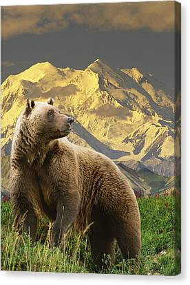 Composite Grizzly Stands On Tundra With Canvas Print by Michael Jones