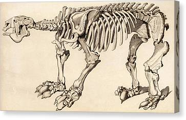 Composite Skeleton Of A Megatherium Canvas Print by Universal History Archive/uig