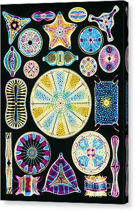 Computer Artwork Of Diatoms From Ernst Canvas Print by Mehau Kulyk