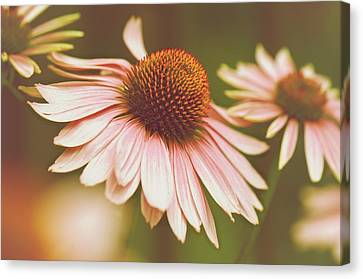 Cone Flower 3 Canvas Print