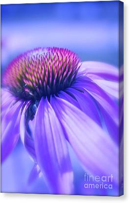 Cone Flower In Pastels  Canvas Print