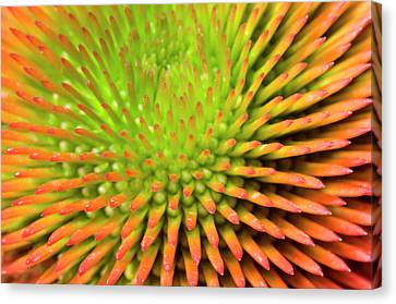 Coneflower Abstract Canvas Print by Nigel Downer