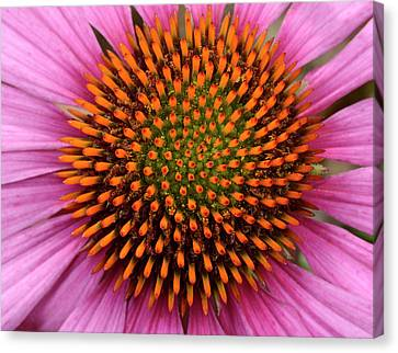 Coneflower Centre Abstract Canvas Print by Nigel Downer