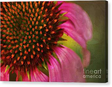 Coneflower Canvas Print by Darren Fisher