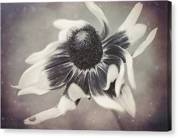 Coneflower In Monochrome Canvas Print by Beverly Stapleton