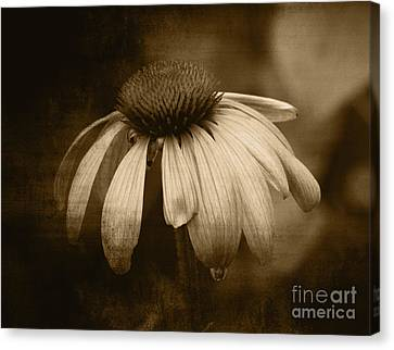 Canvas Print featuring the photograph Coneflower In Sepia by Marjorie Imbeau