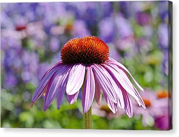 Canvas Print featuring the photograph Coneflower by Lana Enderle