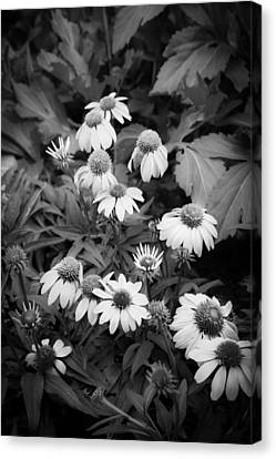 Coneflowers Echinacea Red Bw Canvas Print by Rich Franco