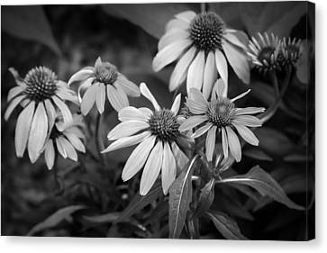 Coneflowers Echinacea Red Painted Bw Canvas Print by Rich Franco