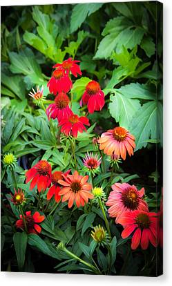 Coneflowers Echinacea Rudbeckia Canvas Print by Rich Franco