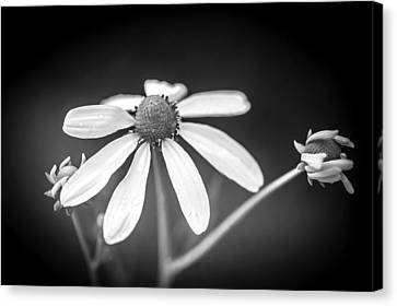 Coneflowers Echinacea Yellow Painted Bw   Canvas Print by Rich Franco