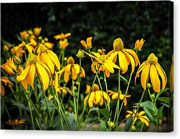Coneflowers Echinacea Yellow  Canvas Print by Rich Franco