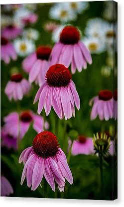Coneflowers In Front Of Daisies Canvas Print