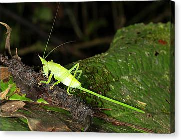 Conehead Katydid With Long Ovopositor Canvas Print by Dr Morley Read