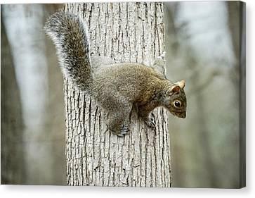 Confused Squirrel Canvas Print