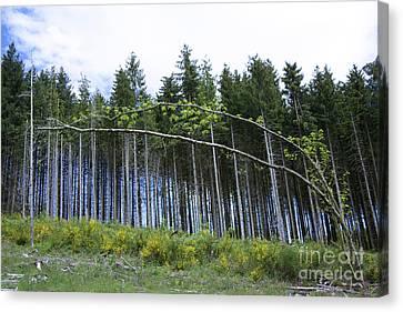 Coniferous Forest Canvas Print