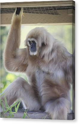 Contemplating Gibbon Canvas Print by Melanie Lankford Photography