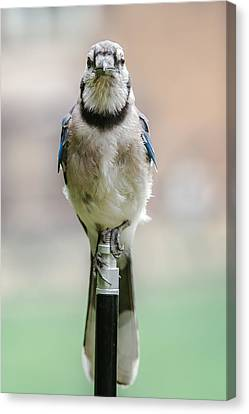 Contemplative Blue Jay Canvas Print