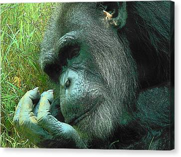 Canvas Print featuring the photograph Contemplative Chimp by Rodney Lee Williams