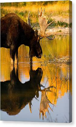 Canvas Print featuring the photograph Contemplative Moose by Aaron Whittemore
