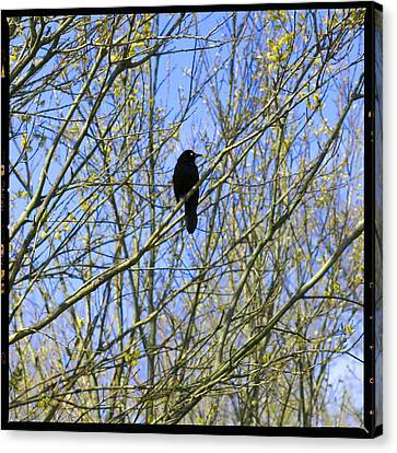 Content Grackle Canvas Print