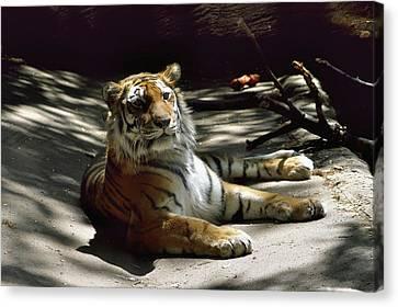 Content Tiger Canvas Print