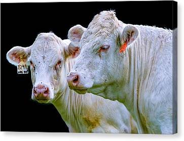 Contrast Cows Canvas Print