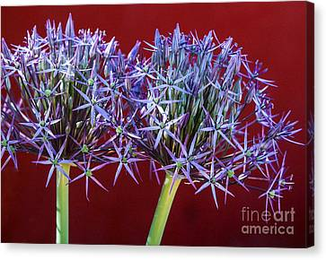 Canvas Print featuring the photograph Flowering Onions by Roselynne Broussard