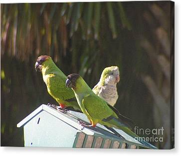 Conure Parrots And Quaker Parrot Share A Feeder Canvas Print