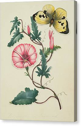 Convolvulus With Yellow Butterfly Canvas Print by English School