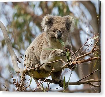 Cool Koala Canvas Print