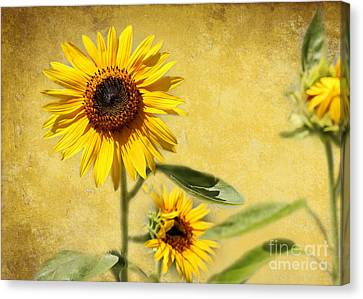 Cool Sunflowers Canvas Print by Sabrina L Ryan