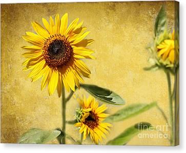 Florida Flowers Canvas Print - Cool Sunflowers by Sabrina L Ryan