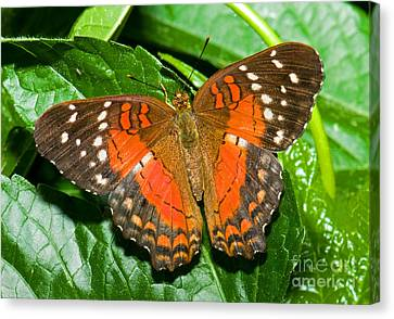 Coolie Butterfly Canvas Print by Millard H. Sharp