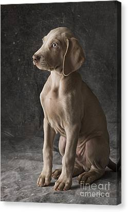 Cooper Canvas Print by Dan Jurak