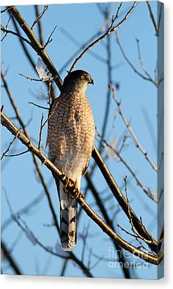 Coopers Hawk 021013 Canvas Print by Gene  Marchand