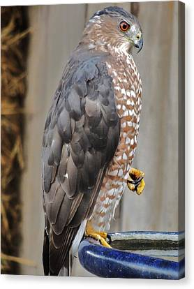 Coopers Hawk 2 Canvas Print by Helen Carson