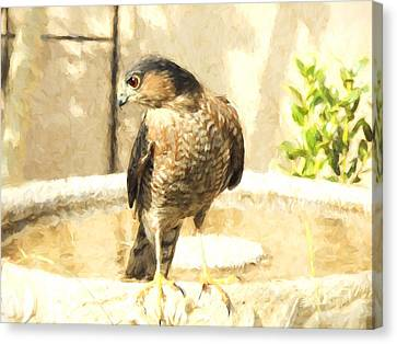 Cooper's Hawk At The Birdbath Canvas Print
