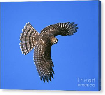 Coopers Hawk Canvas Print by Jim Zipp