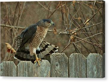 Coopers Hawk Canvas Print by Joy Bradley