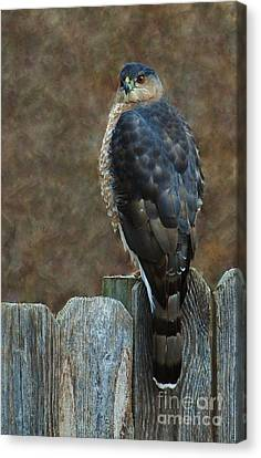 Coopers Hawk Portrait Canvas Print by Joy Bradley