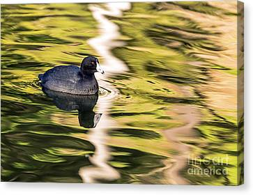 Coot Reflected Canvas Print