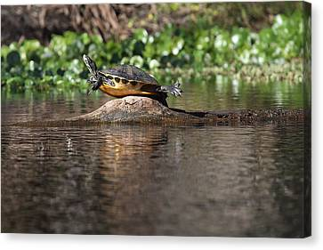 Cooter On Alligator Log Canvas Print by Paul Rebmann