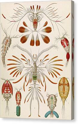 Copepod Crustaceans Canvas Print by Library Of Congress