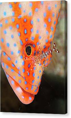 Coral Gouper With Cleaner Shrimp Canvas Print by Scubazoo