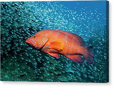 Coral Hind And Pygmy Sweepers Over A Reef Canvas Print by Georgette Douwma